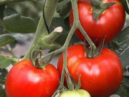 Tomates Saint Pierre bio