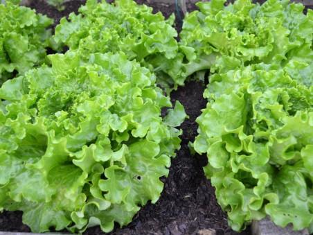 Salade Battavia bio